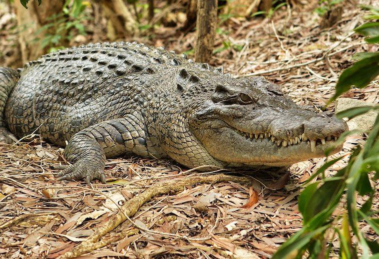 Crocodile at Hartley's Crocodile Adventures